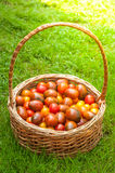 Tomatoes in basket on the green grass. The composition of tomatoes in a large basket on the green grass. Yellow, pink and red tomatoes. Cherry tomatoes. Freshly Stock Images