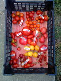 Tomatoes in basket 6. Various types of red tomatoes in plastic basket Royalty Free Stock Images