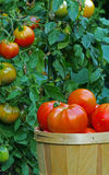 Tomatoes in a basket Vertical Royalty Free Stock Image