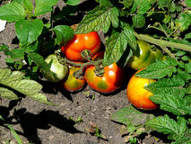 Tomatoes on a bed. Tomatoes growing in the garden after the rain Royalty Free Stock Photography
