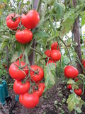 Tomatoes in a bio-garden Royalty Free Stock Images