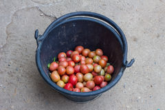 Tomatoes in black bucket on floor of concrete Royalty Free Stock Photo