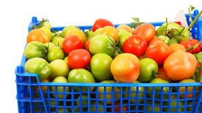 Tomatoes in the blue box. Fresh tomatoes from the garden beds in the blue box.  White background Stock Photography