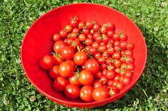 Tomatoes in a bowl Royalty Free Stock Photo