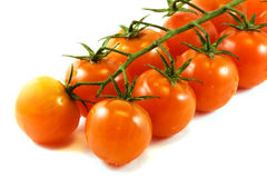 Tomatoes on a branch royalty free stock images