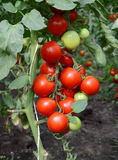 Tomatoes on a branch Royalty Free Stock Image