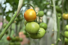 Tomatoes on a branch Stock Images