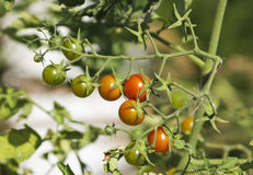 Tomatoes on the branch Royalty Free Stock Images