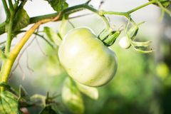 Tomatoes on a branch 4. Green tomatoes on a green branch in garden stock photos