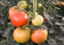 Tomatoes on a branch Stock Image