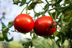 Tomatoes on a branch. Tomatoes on the ground, and some grass green tomatoes on a branch stock photo