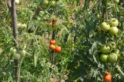 Tomatoes on branch. Longoz flora eregli Royalty Free Stock Images