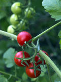 Tomatoes on a branch Stock Photos