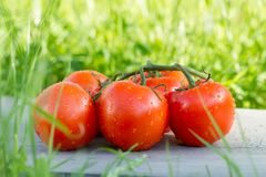 tomatoes on branch with water drops on green grass Royalty Free Stock Photos