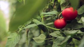 Tomatoes on the branches in the greenhouse stock video footage