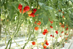 Tomatoes on the branches in the hothause. Tomatoes on the branches in the hothouse Royalty Free Stock Photos