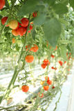 Tomatoes on the branches in the hothause Stock Images