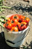 Tomatoes in the bucket Stock Photo