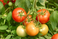 Tomatoes bunch close up Stock Images