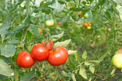 Tomatoes bunch in greenhouse Royalty Free Stock Photos