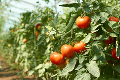 Tomatoes bunch in greenhouse Royalty Free Stock Photo