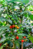 Tomatoes bush. Close-up stock photo
