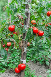 Tomatoes bush growing in the garden. Tomatoes growing in the garden. Plant royalty free stock photography