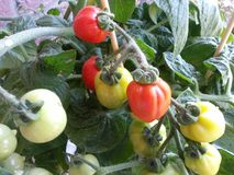 Tomatoes on a bush Stock Images