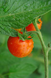 Tomatoes, cherry tomatoes Royalty Free Stock Images