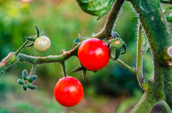 Tomatoes cherry. Two tomatoes cherry on a branch Stock Photos