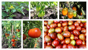 Tomatoes collage Stock Photos