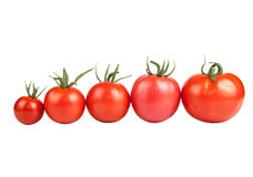 Tomatoes constructed in a row isolated on white background Royalty Free Stock Photo