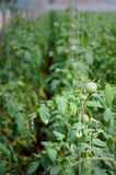Tomatoes cultivation Stock Images
