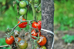 Tomatoes disease. Fruit,vegetables Royalty Free Stock Images