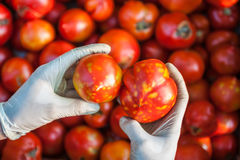 Tomatoes with diseased. Tomato harvest. Farmers hands with harvested diseased tomatoes stock image