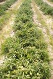 Tomatoes farm Stock Photos