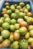 Tomatoes farm Stock Photography