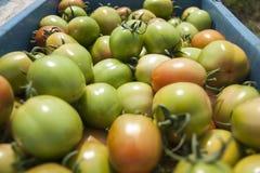 Tomatoes farm Stock Image