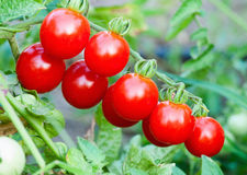 Tomatoes. Farm of tasty red cherry tomatoes on the bushes Royalty Free Stock Images