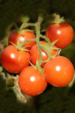 Tomatoes at the field. Bunch of  tomatoes at the field Royalty Free Stock Image
