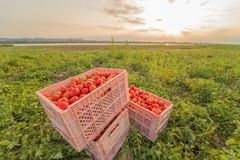 Tomatoes in the field to prepare the market. Red tomatoes in the field to prepare the market Stock Photos