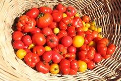Tomatoes. Fresh variety of organic tomatoes Royalty Free Stock Photos