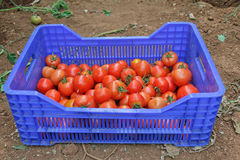 Tomatoes. Freshly Harvested Tomatoes in a Blue Plastic Vegetable Crate Stock Image