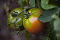 Tomatoes in garden Stock Photography
