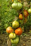 Tomatoes in the garden Stock Photography