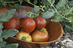 Tomatoes in Garden. Fresh garden tomatoes in a bowl Royalty Free Stock Images