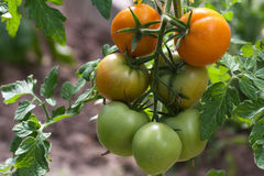Tomatoes garden Stock Photo