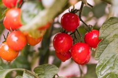 tomatoes in a garden Royalty Free Stock Images
