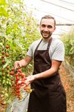 Tomatoes in the garden are cut with scissors in man hand before colections for sales. Vegetable garden with plants of cherry red t. Tomatoes in the garden are stock images