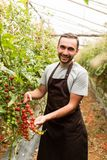 Tomatoes in the garden are cut with scissors in man hand before colections for sales. Vegetable garden with plants of cherry red t. Tomatoes in the garden are royalty free stock photo